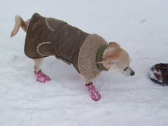 Mush! (Angela.) Tags: dog snow chihuahua cold video funny lulu boots coat explore chi explored dscf2941