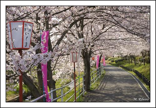 Série Sakura