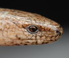 slow-worm (legless lizard (gypsylad) Tags: onlythebest flickrturkey