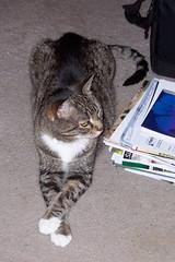 Chillaxin (Tabbymom Jen) Tags: cats cat tabby bonnie rainbowbridge neverforgotten kissablekat attacktabby feb91997may222008 052209slideshow