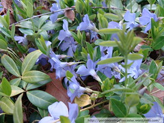 Vinca (captjoe06) Tags: flowers groundcover vinca springbloom