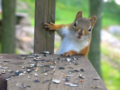 """Another round here"" (Mike's point of view) Tags: red squirrel barrie kempenfeltbay simcoecounty barrieontario"