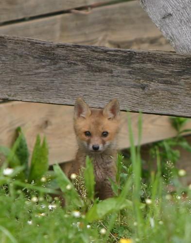 Foxkeh?