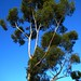 ...in the eucalypt tree.
