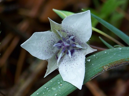 Tolmie star-tulip (Calochortus tolmiei)