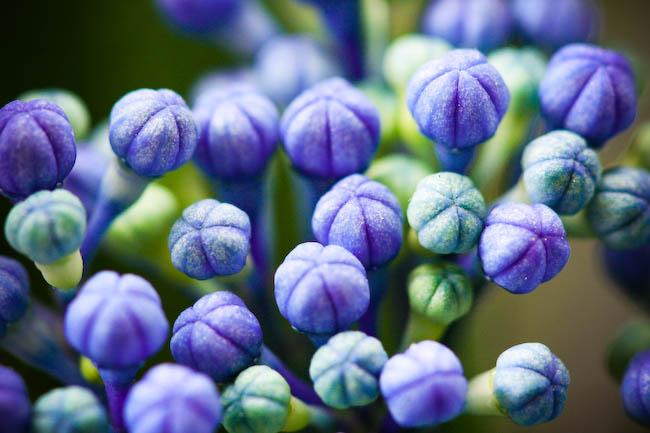 Blue Hydrangea6