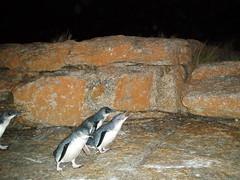 PC150012 (Blake the Black) Tags: penguin tasmania tassie bicheno