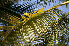 fronds (AndrewEick) Tags: hawaii waikikibeach aedcweb