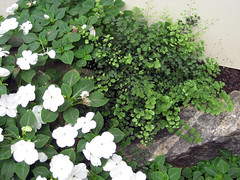 maidenhair fern and impatiens