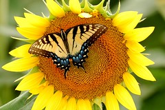 tiger swallowtail on sunflower ( David Gunter) Tags: blue orange sun flower green nature yellow butterfly tiger sunflower zebra swallowtail jacksontn swallowtailbutterflies jacksontennessee davidgunter