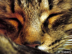 Sleep tight... (Tibby is finally back!) Tags: sleeping brown macro face cat kitten nap tabby maine catnap coon supershot golddragon boc0708