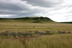 expanse (d_rimbo) Tags: africa trip travel animal landscape kenya safari zebra gamepark masaimara