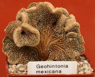 Geohintonia mexicana