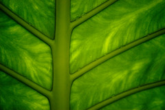 leaf_textures_5 (phamp197x) Tags: tree green nature leaves leaf patterns textures vietbestphoto