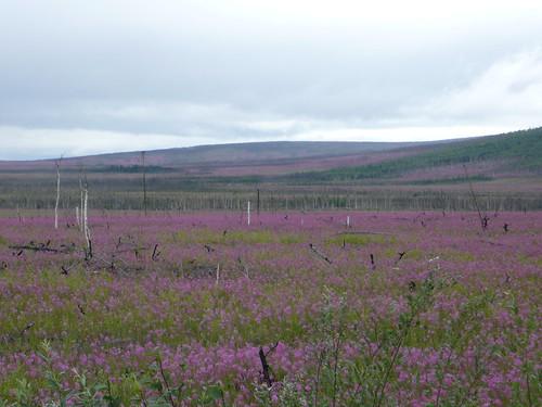 Flores en la Dalton Highway Alaska