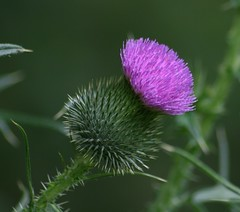 Thistle (Jeanie's Pics) Tags: plant nature thistle wildflower bullthistle awesomeblossoms