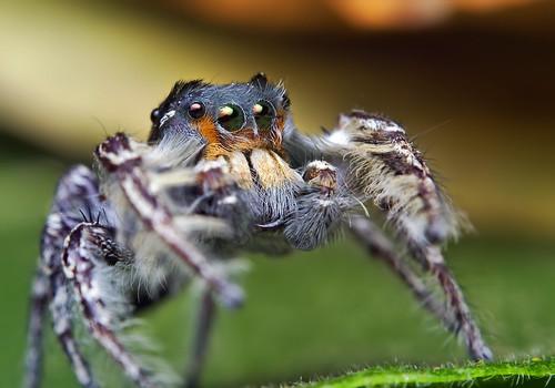 Adult Male Phidippus putnami Jumping Spider