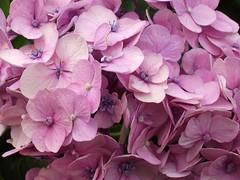 hydrangea pink2