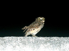 Home owl (jmven) Tags: home night canon island rebel venezuela owl margarita 580 mosquera xti exii