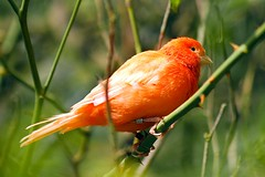 Canary Bird 01