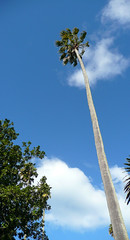 Long way down (wiifm) Tags: old newzealand sky tree clouds historic huge napier clivesquare panasonicdmctz3