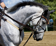 POWER !! (riclane) Tags: horse muscles neck power ottawa gray jumper strength veins equine nationalcapitalequestrianpark kubotajumpingchampionships