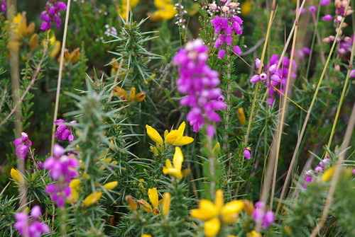 Gorse flowers and erica - IMGP1119