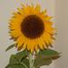 Sandy's Sunflower