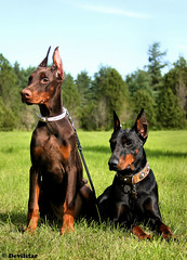 Campary & Devvu (Devilstar) Tags: summer two baby brown black cute dogs puppy outdoors super land doberman pinscher biene beke dobermann flox campary legrant hainide