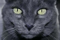 "My Pretty - close-up after surgery 6""x4"" (yourcottoncandyhammer) Tags: blue portrait cat neko gatto bluecat katzen korat russianblue catnipaddicts ornerycats"