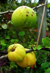 quince (framajo) Tags: nature fruit jardin inspire musictomyeyes artisticexpression coing bej golddragon platinumphoto citritbestofyours arbrefruitier goldstaraward dragongoldaward cherryontopphotography