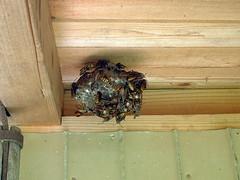 畑の小屋の蜂の巣