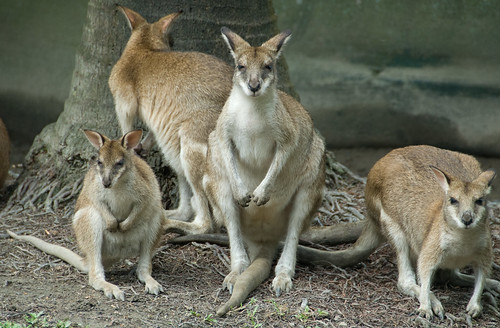 Swamp Wallaby Family Photo