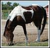 Paint Horse (chippewabear) Tags: horse fdsflickrtoys paint pony
