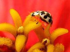 IMG_5366 Wearing New Shoes 9-6-08 (arkansas traveler) Tags: flowers insects bugs ladybug zinnia macros bichos flowerscolors diamondclassphotographer flickerdiamond naturewatcher spectacularmacro