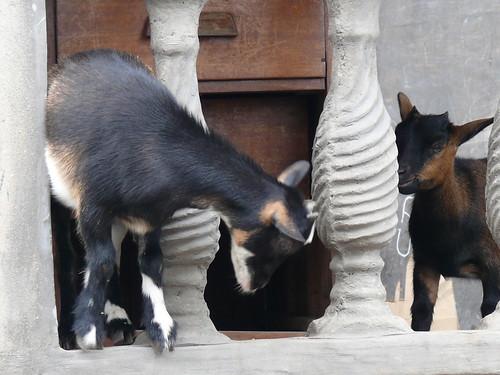 Goats in Buea
