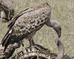 Rueppell's Griffon  Vulture (Gyps rueppellii)
