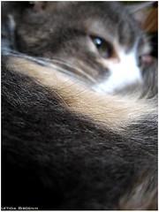 minha flr (Leticia Bisognin) Tags: macro cat flor gatos gato gata felinos felino animais animalia gatas mamiferos canona550 leticiabisognin animaisfelinos