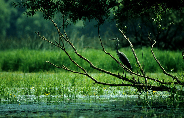 Gray Heron - Kopacki Rit sc 0011r
