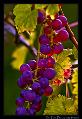 Trauben - wine grapes (def110) Tags: oktober germany grapes freiburg reben wein trauben lightroom winegrapes digitalcameraclub d80 nikond80 aplusphoto