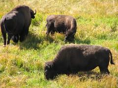 Bison of Yellowstone National Park, Wyoming 13 (glazaro) Tags: park usa west nature animal america nationalpark buffalo scenery wildlife national yellowstonenationalpark yellowstone wyoming wes bison yellowstonepark