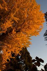 朝陽に燃える銀杏