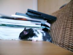 Ahhh im stuck! (Hamsterparadise) Tags: hamsters