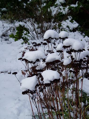 Snow Sedum Seedheads