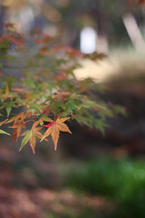 Shimogamo Shrine Leaves (craigmread) Tags: trees fallleaves tree nature leaves japan canon garden japanesegarden maple kyoto shrine dof bokeh autumnleaves momiji    mapleleaves shimogamo koyou  eos40d canoneos40d