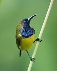 Nectariniidae (cc par Lip Kee)