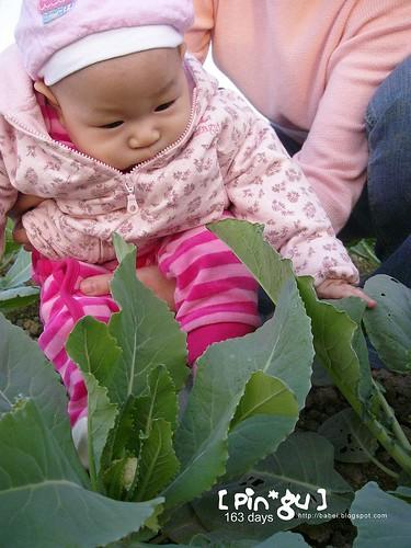 pingu 和花椰菜