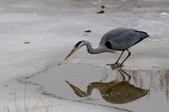 I spy with my little eye (ksvrbrg) Tags: winter ice heron reiger ijs