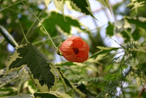 Poppies_21