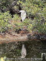 P2200508 GREAT BLUE HERON AND ITS REFLECTION (Frozen in Time photos by Marianne AWAY OFF/ON) Tags: bird nature birds wow virginia wildlife national greatblueheron nationalwildliferefuge ardeaherodias chincoteagueisland friends~ nationalgeographicwannabes wowphoto wowiekazowie ilovemypics naturegreenstar refugereflections nationalgeographiswannabes